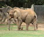 Elephant XII