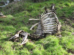 Dead Cow Skeleton