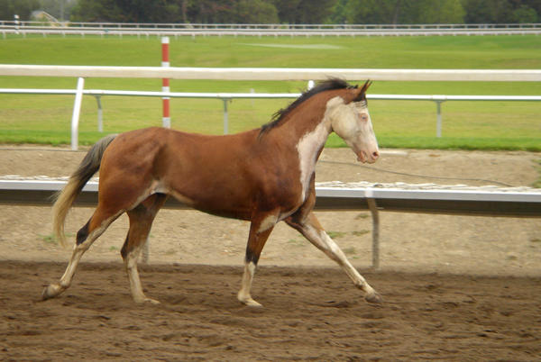 Galloping Paint Horse Tackless by rachellafranchistock on ...