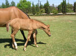 Grazing Mare and Foal