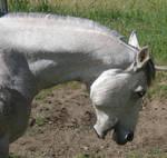 Tackless Grey Horse