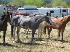 Blue Roan Paint Horse by rachellafranchistock