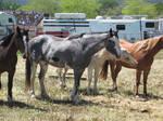 Blue Roan Paint Horse