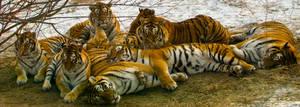 Tiger Gang