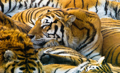 Tiger Tiger by kayellaneza