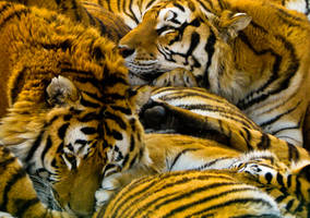 Tiger Craze by kayellaneza
