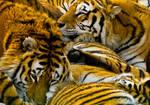 Tiger Craze