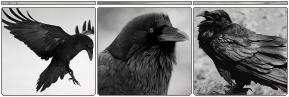 Raven Divider - f2u