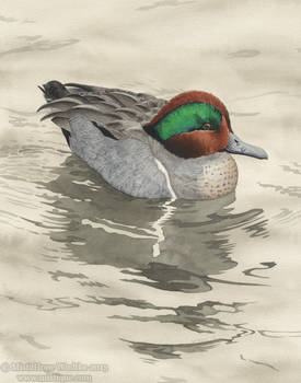 The Water Dove