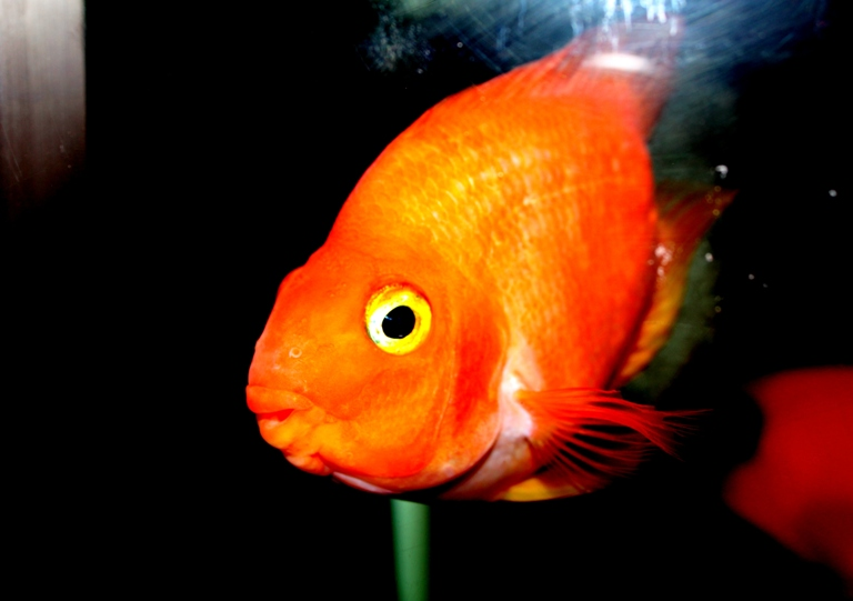 gold fish hd images download