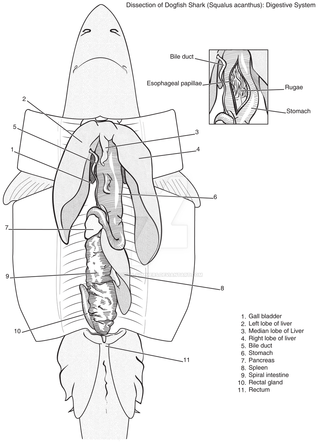 Dogfish Shark Internal Anatomy Diagram Digestive - Block And ...