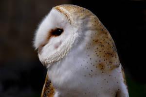 Barn Owl by GailJohnson