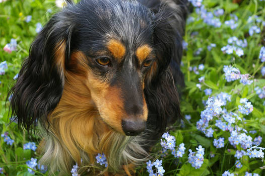 Forget Me Not Dog