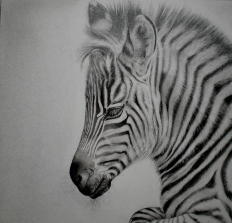Zebra Pencil Sketch | www.imgkid.com - The Image Kid Has It!