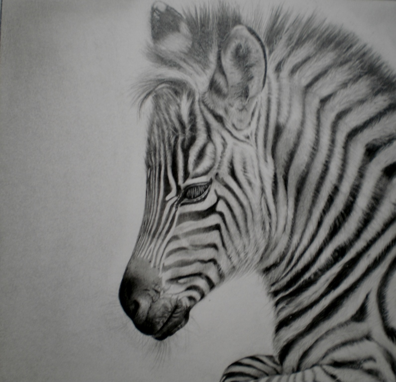 zebra pencil drawing - photo #16