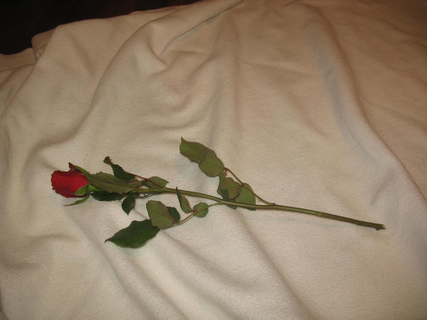 Red Rose -stock