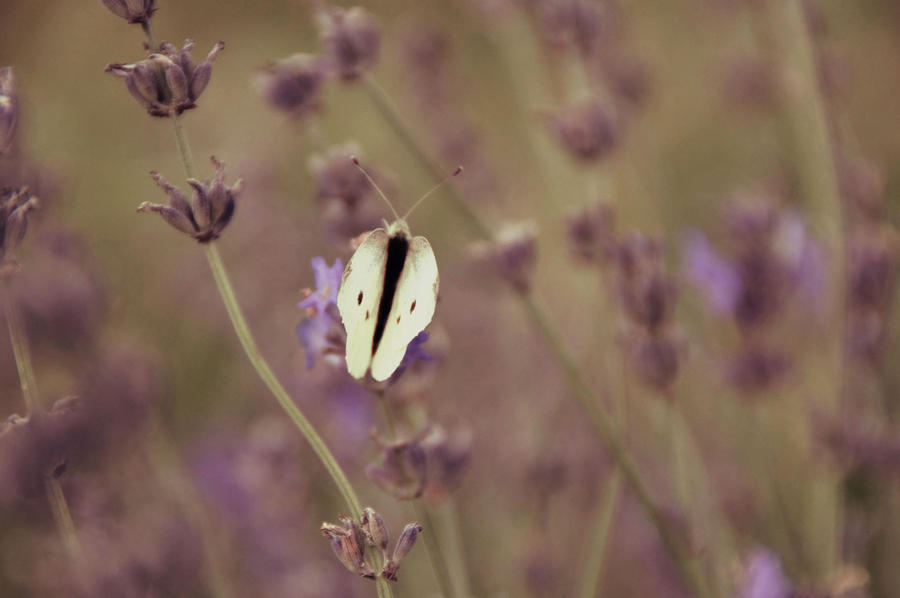 Butterfly on lavender by cucumber-love