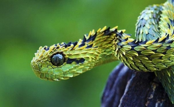 Green Dragon snake by ...