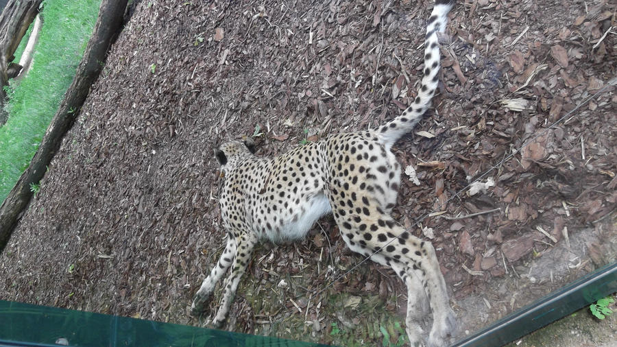 sleeping cheetah gepard by demaria0402 on deviantart