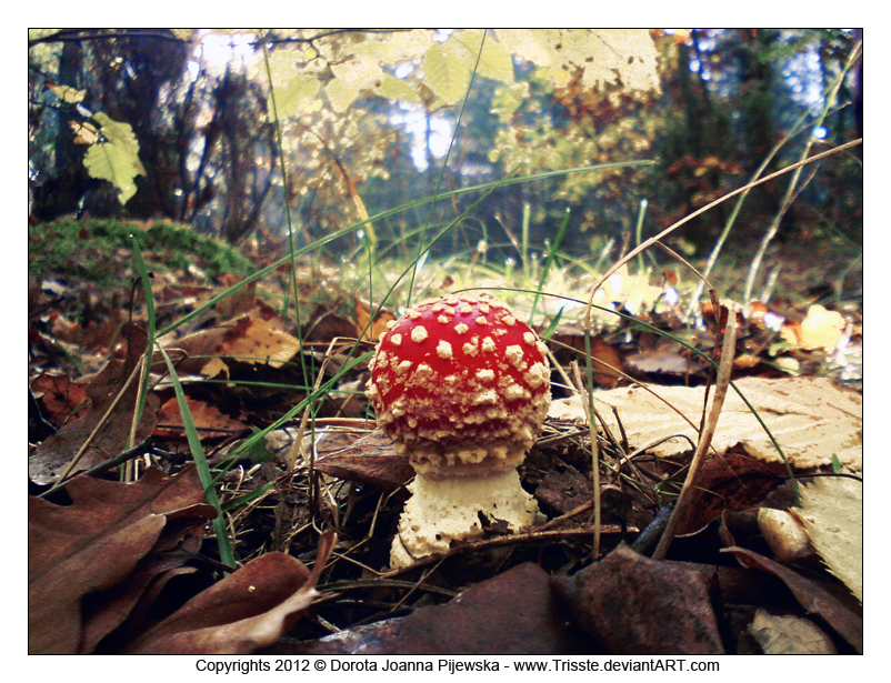 Amanita muscaria by Trisste