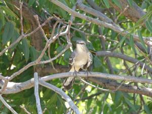 Mocking Bird On A Branch