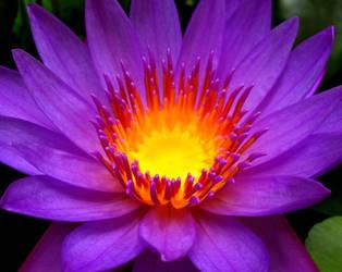 Lotus by SATTISH