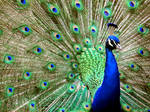 Male Peacock 1