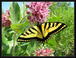 Western Tiger Swallowtail Butterfly 2