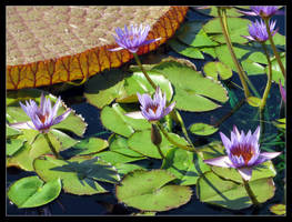 Lillypads by LifeIsToBeHappy