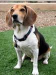 Beagle Stock 002