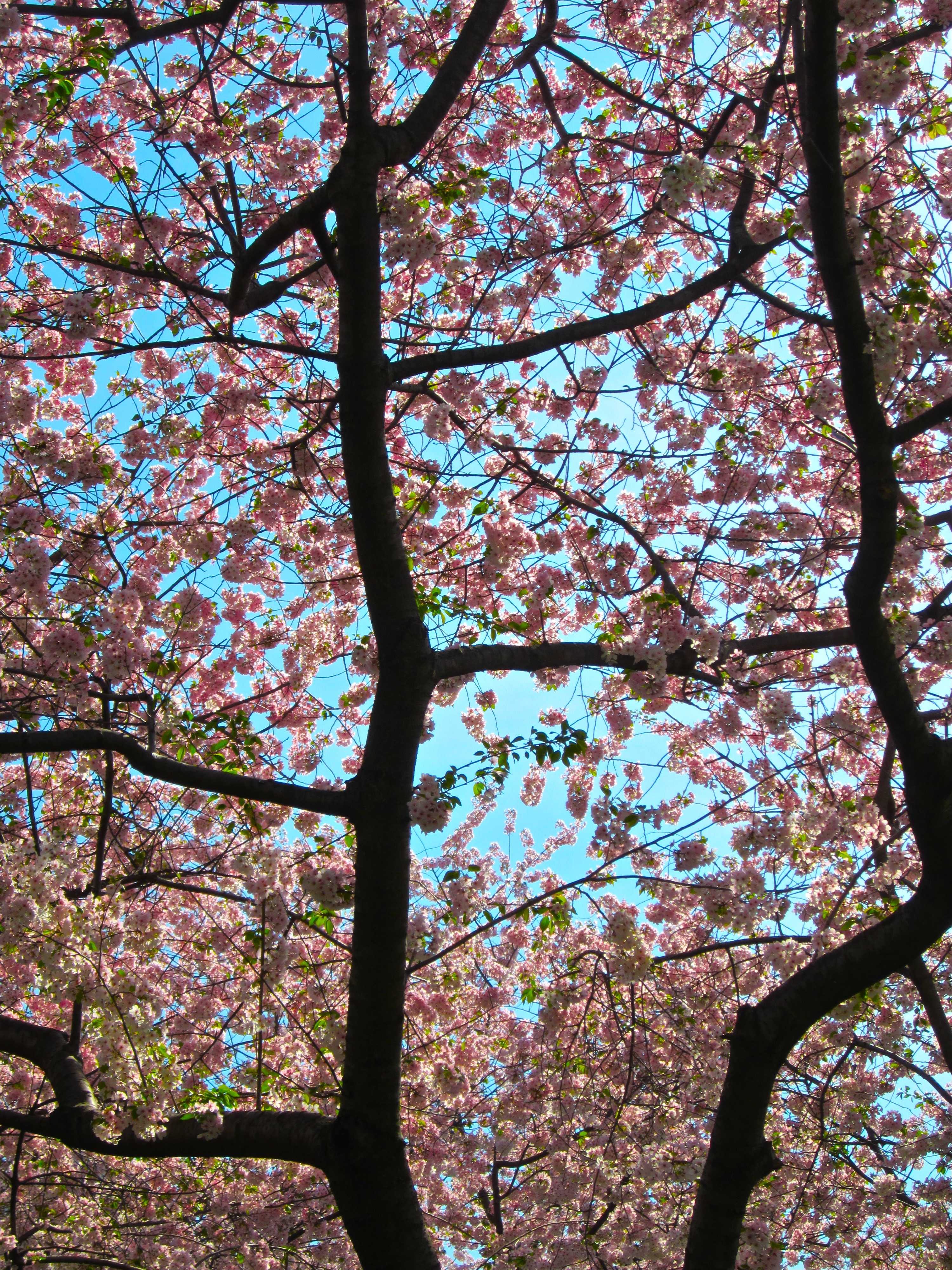 Cherry Blossom by MrDannyD
