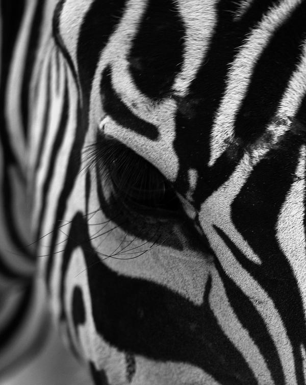 Zebra by FullofSecrets
