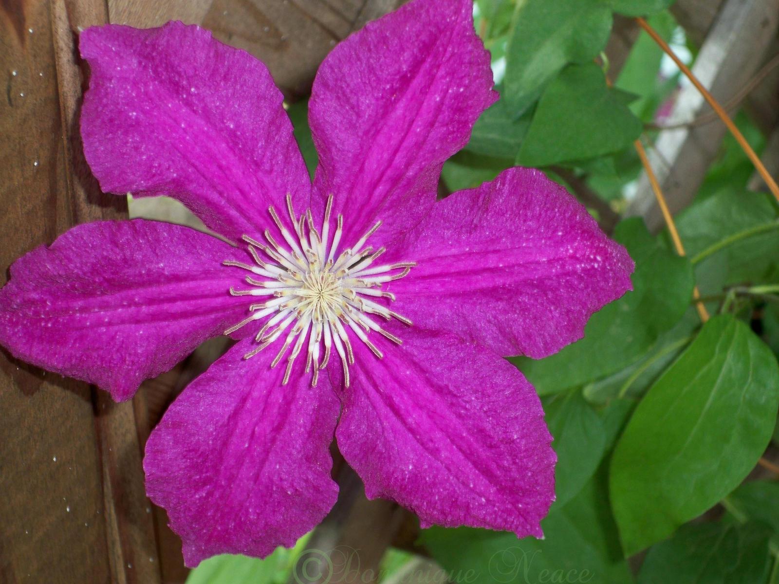Purple Clematis Flower by magickmuffinzombie on DeviantArt