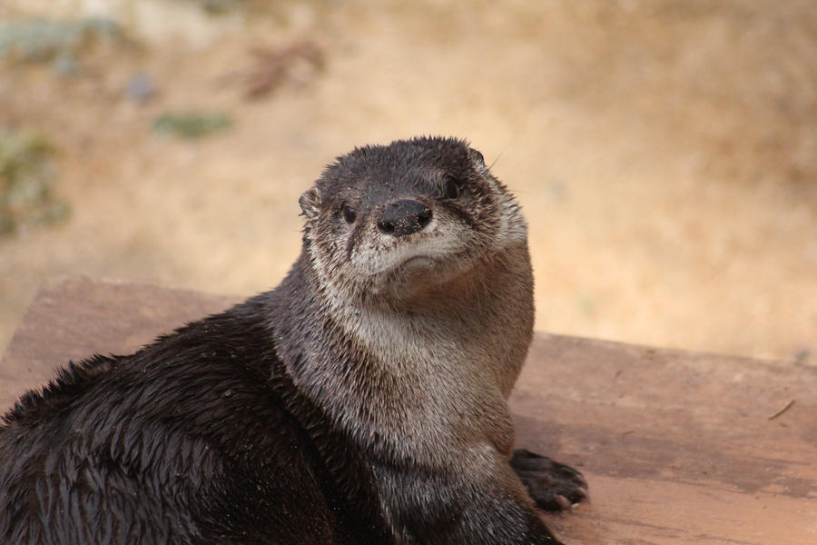 River Otter by WhoeMelk13