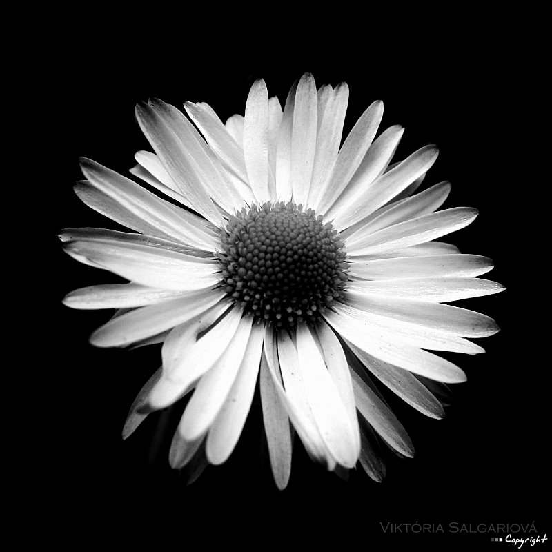 FlOwEr Black AND White by WiKkASs