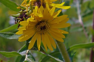 Sunflower by blaird83