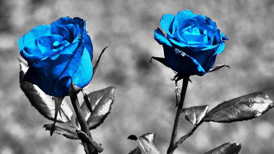 Blue Roses By Harrykrizz On DeviantArt