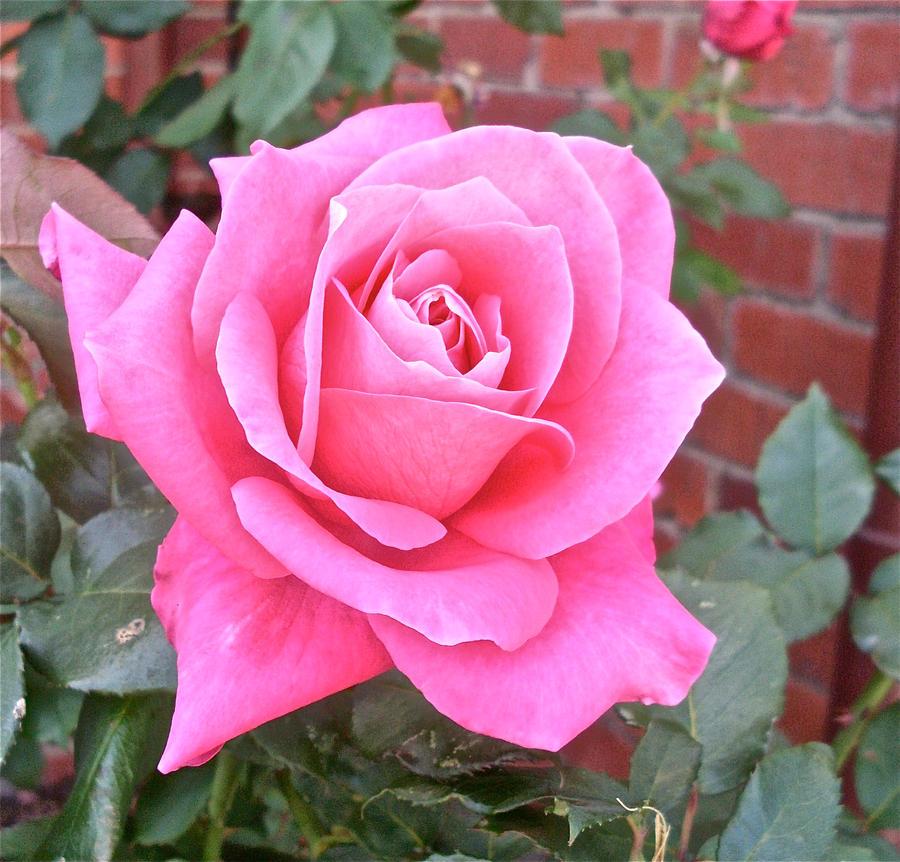 rose flower wallpaper hd for mobile