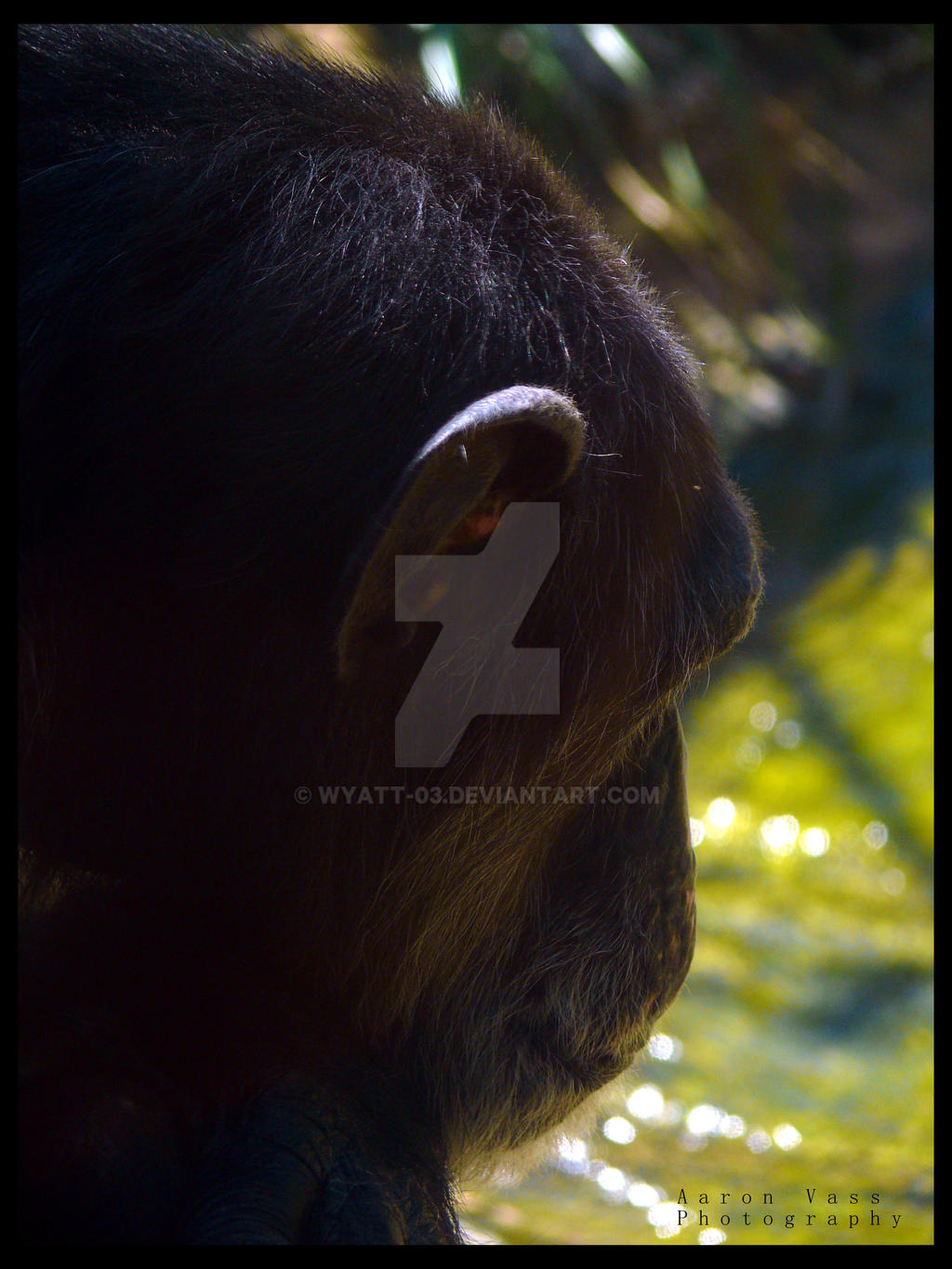 Comtemplating Chimp by Wyatt-03
