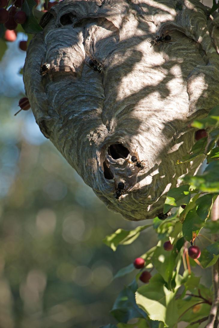 Bald-Faced Hornet Nest by RocksRose