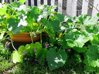 Courgette au jardin