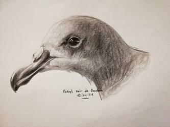 Petrel noir de Bourbon - Pseudobulweria aterrima
