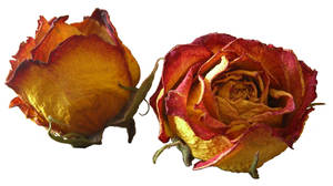 Dried roses cutout stock