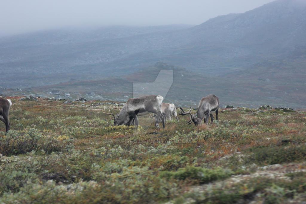 Reindeers by fireg