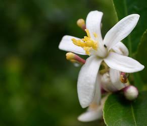 Lemon Flower by Elvenred