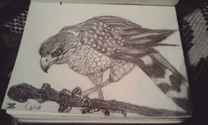 Ged (sparrowhawk)