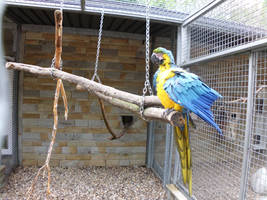 Blue-and-yellow Macaws by JollyStock