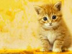 Wallpaper: Golden Cat