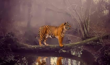 Tiger by Hayderalfakhry