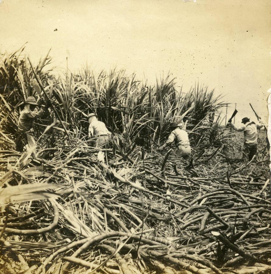 Sugar plantations in the Caribbean